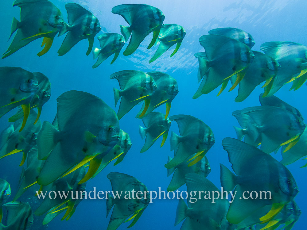 Schooling BATFISH at Menjangan Island #00001 web