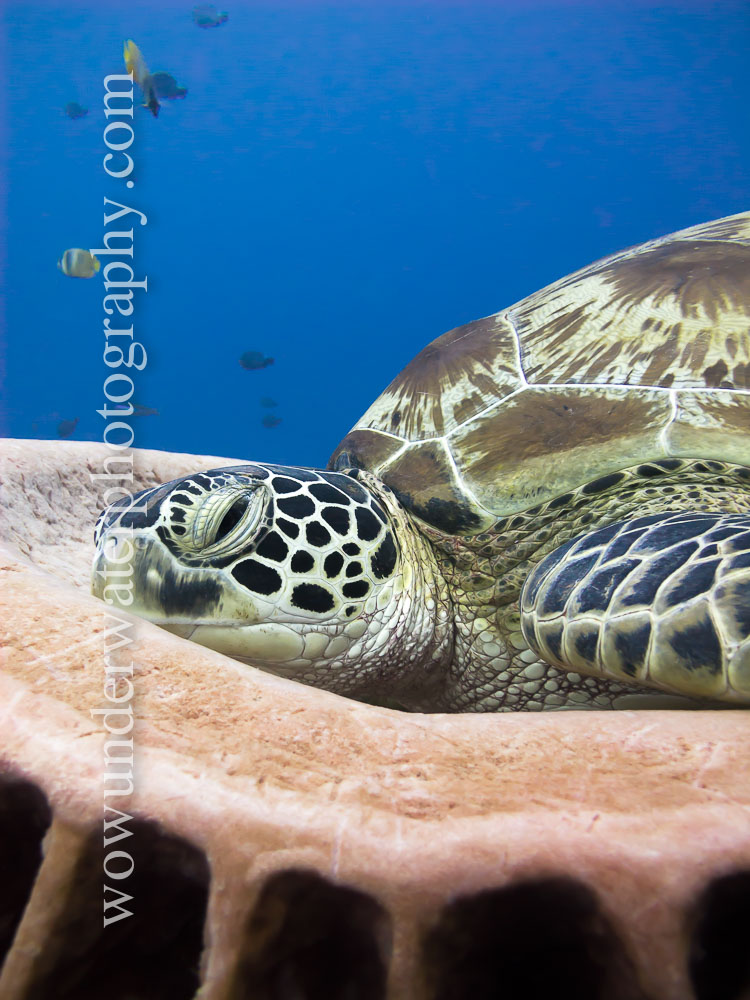 Turtle CAPTAIN SNOOZE #00001 bestsellers web