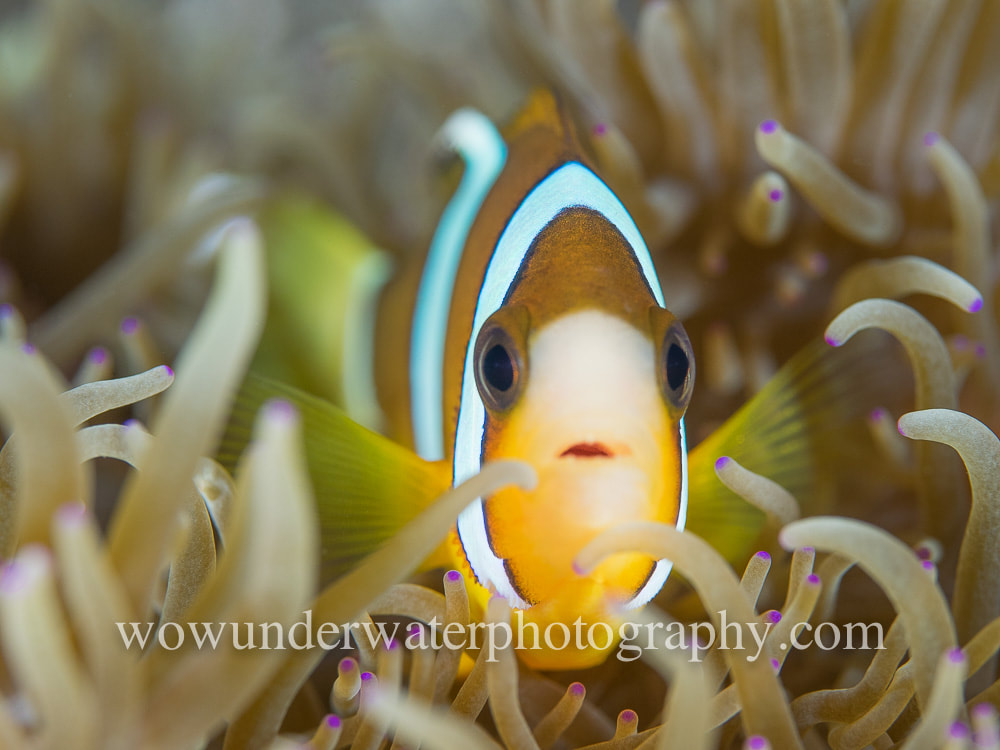 Juvenile Clown Fish #00010 bestsellers web