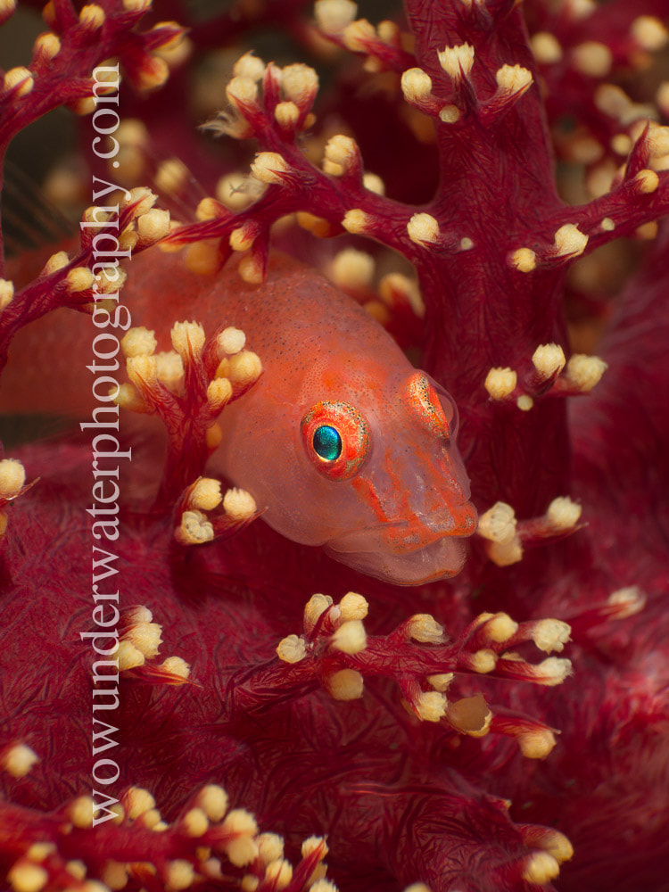 GOBY in soft coral