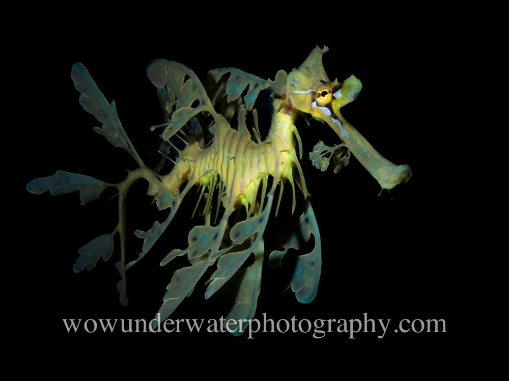 Leafy Seadragon black background #00001 bestsellers web