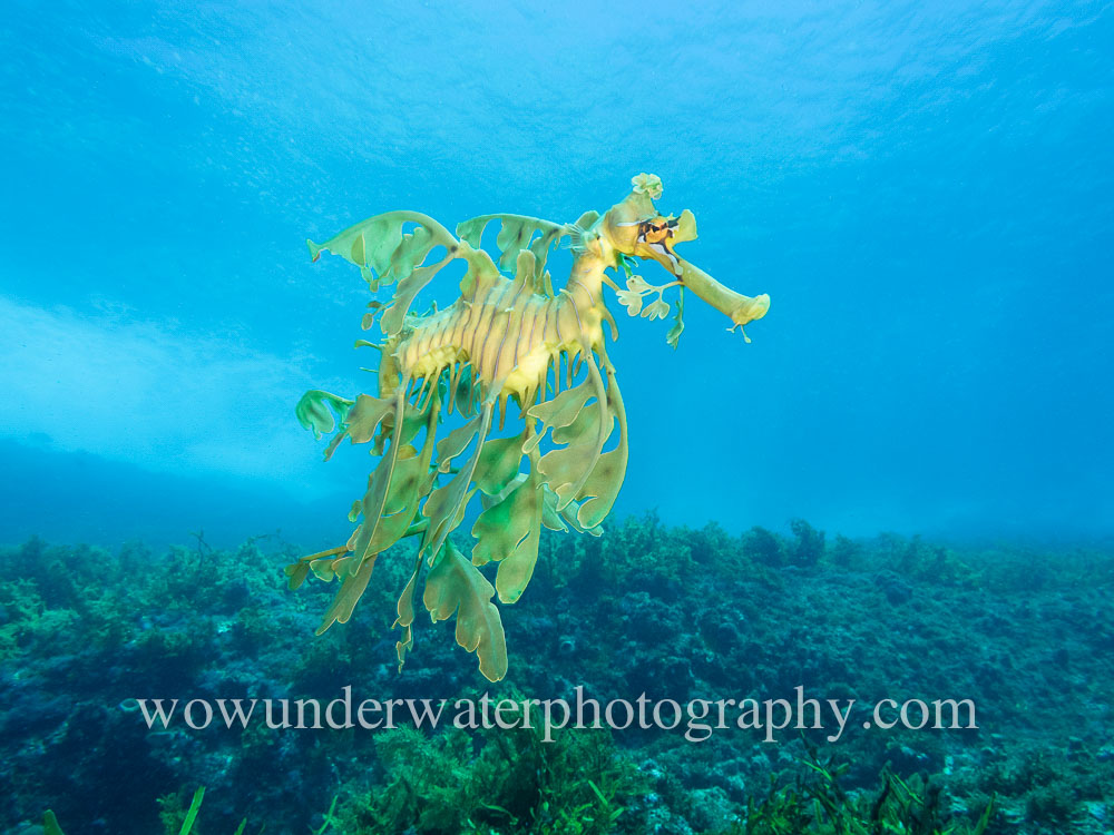 Leafy Seadragon in the blue #00006 bestsellers wow website