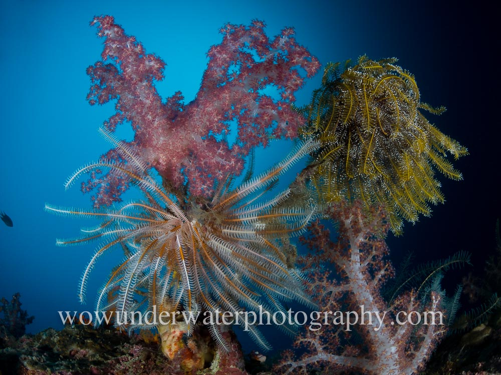 RAJA AMPAT soft coral and crinoids #00001 web