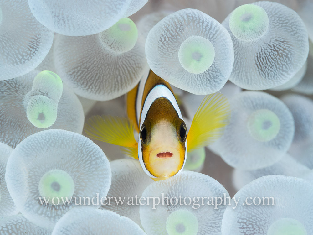 Snowy White Juvenile Clownfish in anemone #00001 bestsellers web