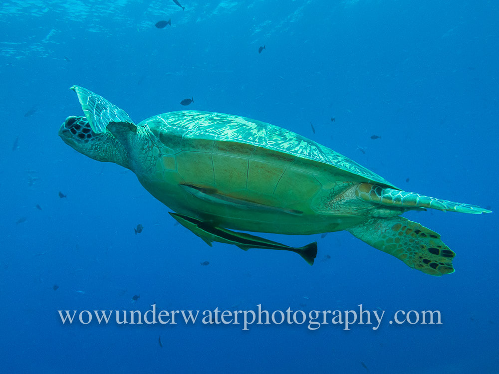TURTLE wth remoras in Gili Air #00111 web